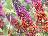 Будлея для сада — фото примеры, особенности посадки и ухода в открытом грунте