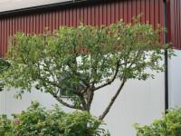 Обрезка плодовых деревьев — описание процедуры с фото примерами