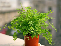 Адиантум: милое комнатное тропическое растение. 78 фото ухода и выращивания
