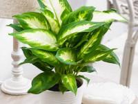 Диффенбахия — роскошное украшение любого цветника. 52 фото растения и советы по выращиванию