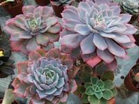 Эхеверия — как ухаживать за комнатными суккулентными растениями? Полив и особенности подбора почвы (55 фото + видео)