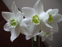 Эухарис: как садить и пересаживать красивое декоративное растение (51 фото + видео)