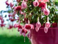 Фуксия: невероятный цветок и правила ухода за ним. 63 фото правил выращивания