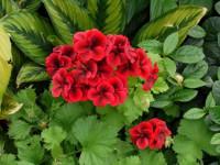 Герань (57 фото) — роскошные и красивые цветы для большого сада