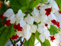Клеродендрум — растение цветущее круглый год. 82 фото удивительно красивого кустарника