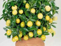 Лимон: 83 фото и правила зимнего ухода за лимонным деревом