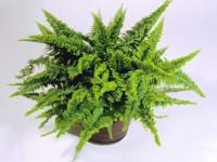 Нефролепис (72 фото) — как осуществить качественный уход за удивительно полезным растением