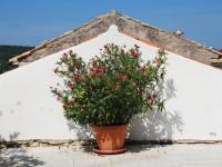 Олеандр: советы по выращиванию кустарника и дерева. 50 фото простого в уходе растения