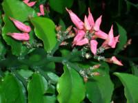 Педилантус — инструкции по уходу и разведению. 58 фото растения и его цветения