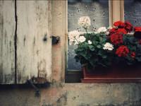 Пеларгония: как выращивать и ухаживать за прекрасным комнатным растением (55 фото)