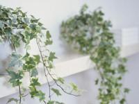 Плющ — самое популярное вьющееся растение для сада (80 фото)