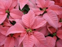 Пуансеттия — полезные советы по уходу за ярким комнатным и садовым цветком (57 фото)