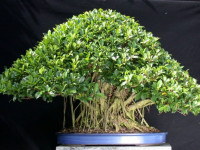 Шефлера — 80 фото как ухаживать и правильно разводить многолетнее комнатное растение