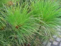 Циперус — требования к температуре, влажности и грунту для быстрого роста. 51 фото растения