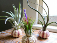 Тилландсия — какой уход требует очень редкий цветок? 53 фото и советы садоводов