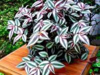 Традесканция — подробная информация по уходу для садоводов. 51 фото яркого растения