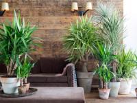 Юкка: как посадить в горшок и следить за ростом. 76 фото выращивания растения
