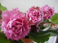 Сенполия: полив нежного комнатного растения. Идеи по уходу за цветком (64 фото-идей)