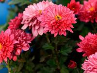 Как сохранить и ухаживать за хризантемой в горшке зимой