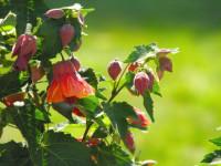 Абутилон — зеленое золото сада! Сложности с которыми можно столкнуться при выращивании (90 фото + видео)
