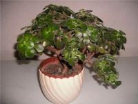 Аихризон — 81 фото как правильно садить, пересаживать и выращивать это растение