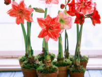 Амариллис — описание, основные виды, особенности ухода, цветение (69 фото)