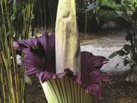 Аморфофаллус: советы по выращиванию тропического растения (53 фото + видео)