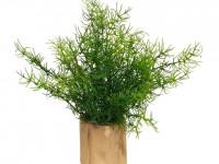 Аспарагус — 76 фото выращивания и использование в качестве декоративного растения