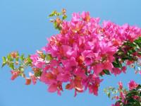 Бугенвиллия — подробное описание домашнего вида и его использование в саду (86 фото)
