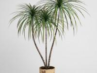 Драцена: садоводческие секреты по уходу. 91 фото комнатной пальмы