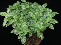 Фиттония — 66 фото ухода за растением в домашних условиях