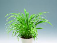 Хлорофитум (73 фото): оптимальная среда для роста и пересадка популярного комнатного цветка