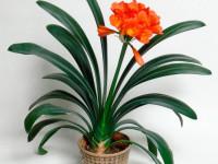 Кливия: как вырастить очень красивый комнатный цветок (58 фото-идей)
