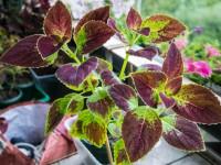 Колеус — выращивание яркого комнатного растения. 81 фото и рекомендации от профессионалов