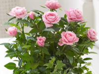 Комнатная роза: причины увядания и правила пересадки всех основных видов (94 фото)