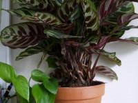 Маранта — растение для украшения интерьера. 69 фото-идей как ухаживать за цветком