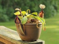 Непентес — виды растения, кормление и полив. 69 фото необходимого ухода