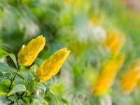 Пахистахис — советы и рекомендации для садоводов. 81 фото выращивания декоративного растения