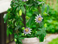 Пассифлора: преимущества использования цветка для здоровья (76 фото + видео)