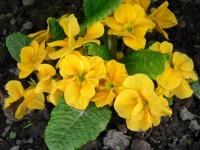 Примула: как удобрять грунт и ухаживать за цветком? 72 фото комнатного растения