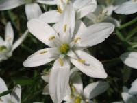 Птицемлечник: 56 фото разведения экзотических цветов у себя в саду и в доме