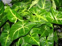 Сингониум: как обеспечить надлежащий уход за тропическим растением? Советы и 92 фото растения