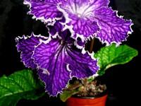 Стрептокарпус (88 фото): добавьте фиолетовый цвет в свой сад! Советы для новичков по выращиванию