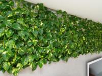 Сциндапсус: информация о правильной посадке вьющегося растения. 74 фото идей украшения комнаты