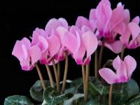 Цикламен — как выращивать из семян и луковиц? Правила ухода за комнатным растением (50 фото)