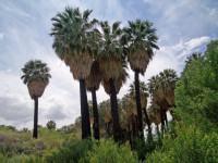 Вашингтония — как выращивается самая морозоустойчивая пальма? Уход, особенности грунта + 59 фото