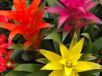 Вриезия — особенности ухода за ярким и красивым комнатным растением (56 фото + видео)