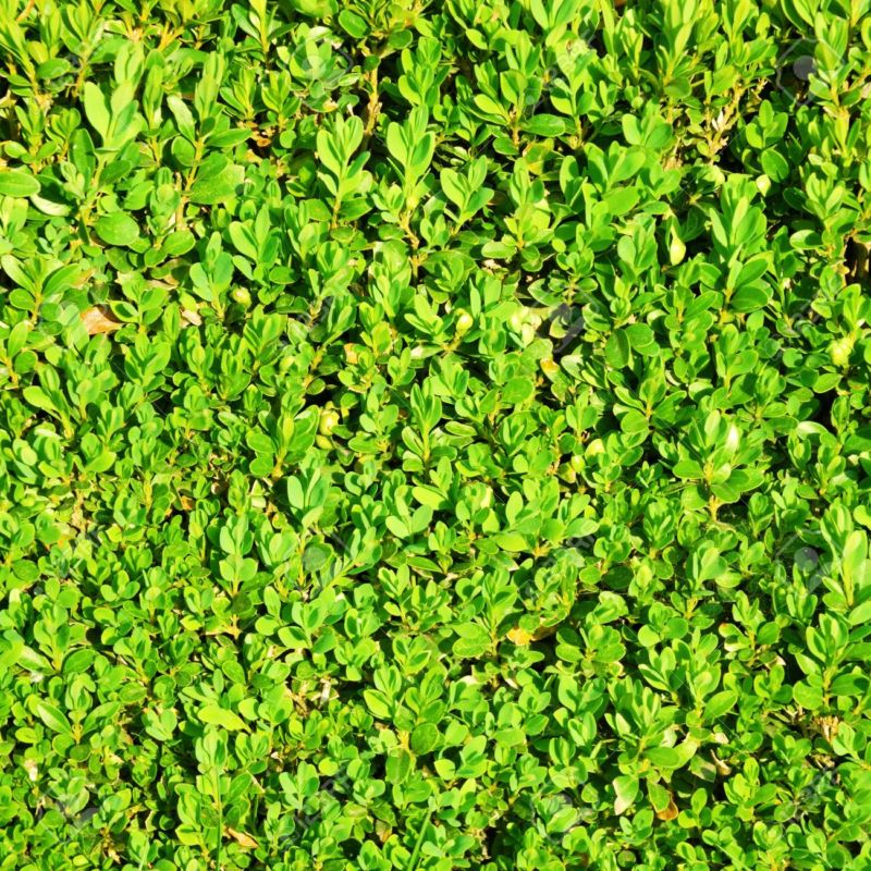 20693162-green-hedge-bush-texture-background-stock-photo