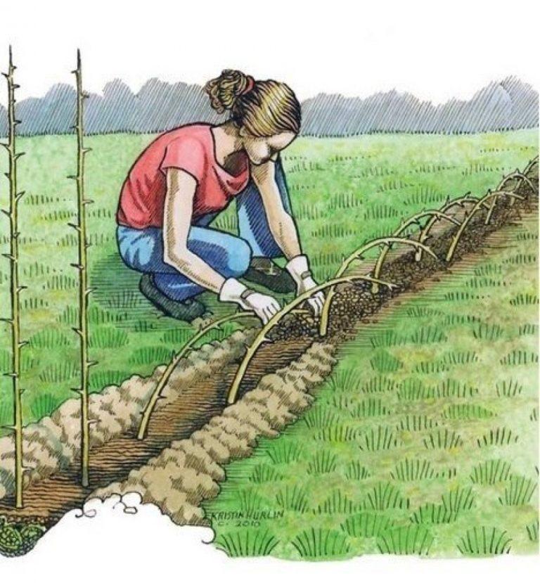 Живая изгородь на даче своими руками какие растения для урала