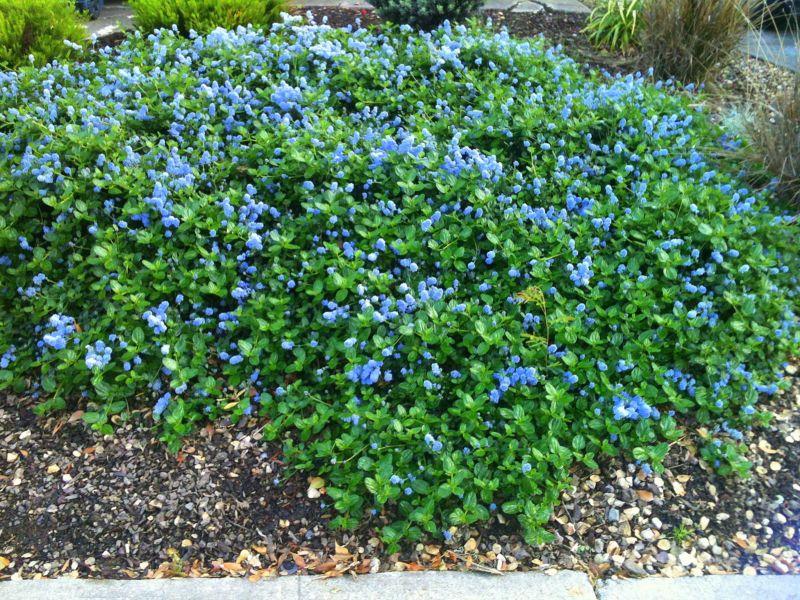 Ceanothus - low growing spreader, light blue flowers